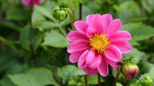 dahlia-flower,google image