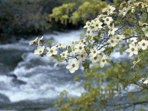 Dogwood-Tree-Blooms-Spring-Flower1,photo by Kennan Ward-Corbis